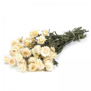 Fleurs Séchées Helichrysum Blanc