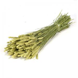 Fleurs Séchées Triticum Naturel Vert
