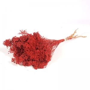 Fleurs de Genêt Séchées Rouges
